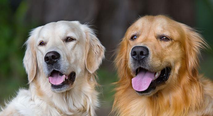Bakken Underholdning Event Hundeskue Labrador COLOURBOX2185893