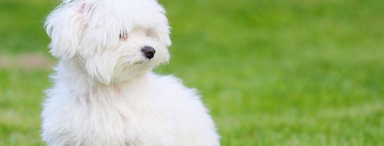Bakken Underholdning Event Hundeskue Hvid COLOURBOX2185893